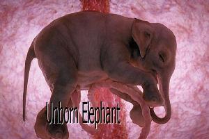 Elephantf