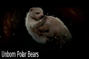 Polar bearsf